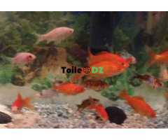 Poisson rouge affaire fort